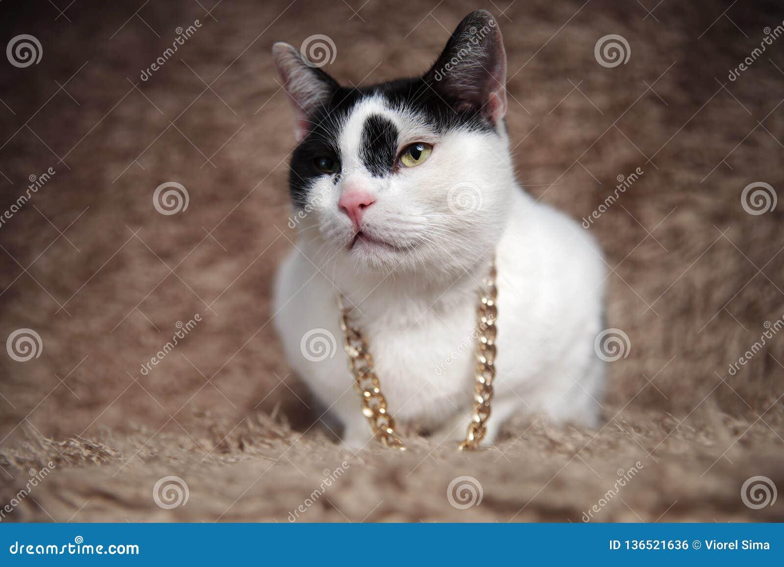 可爱的黑白支持的猫佩带的金衣领神色