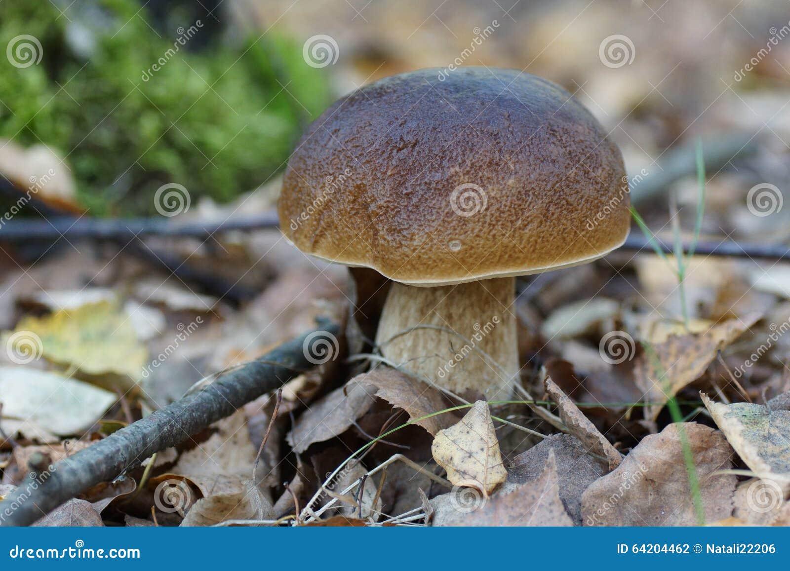 可食的牛肝菌蕈类,等概率圆,便士小圆面包, porcino, porcini,国王牛肝菌