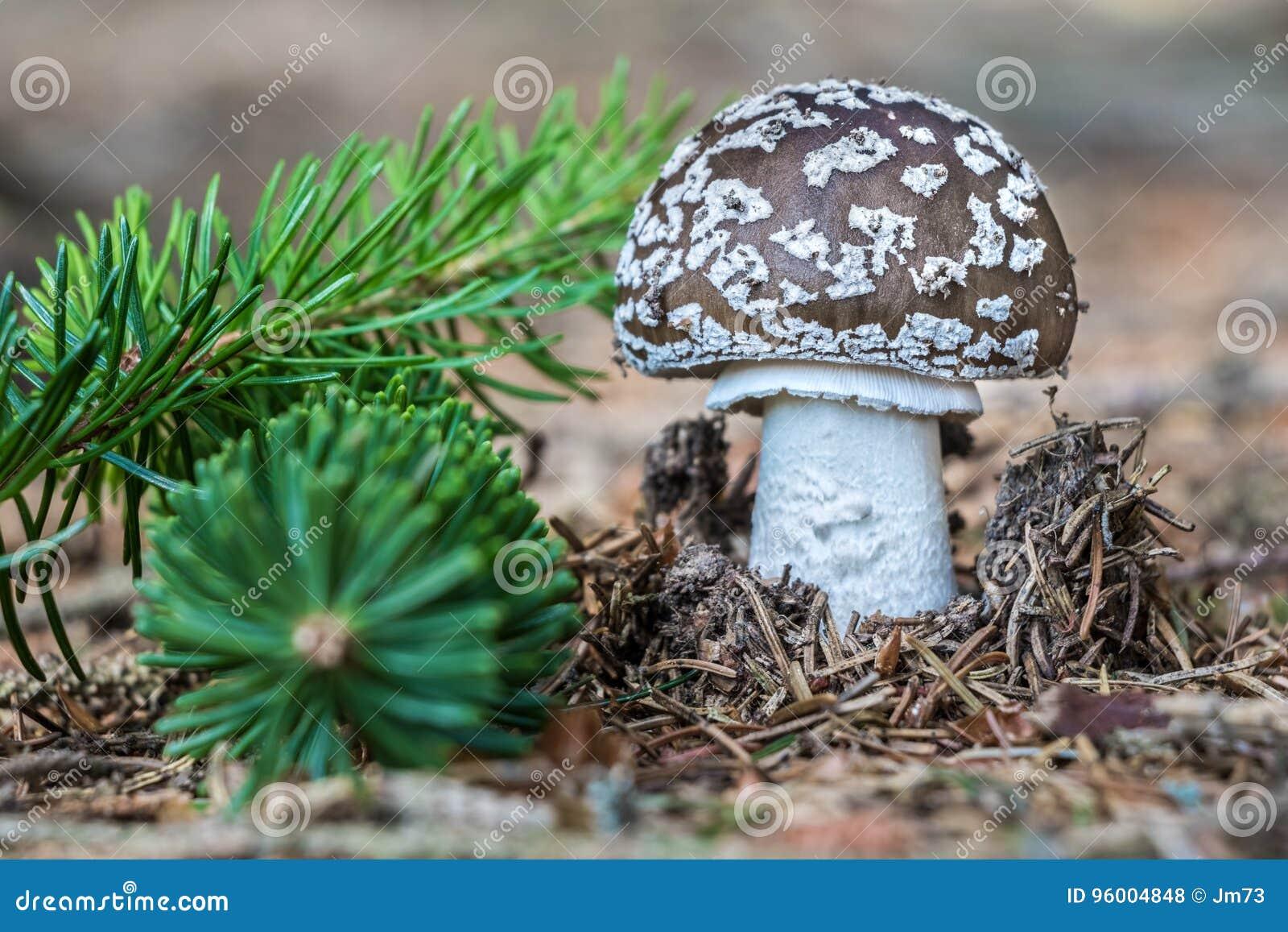 可食的蘑菇伞形毒蕈spissa细节