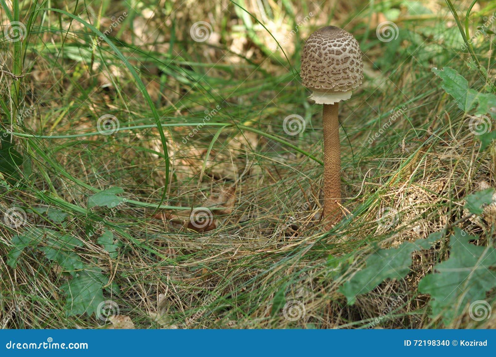 可食的蘑菇 纤巧 对盘的加法 秋天