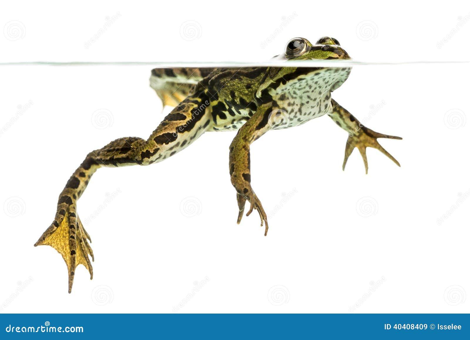 可食的青蛙游泳在表面,从下面被观看, pelophylax kl.图片