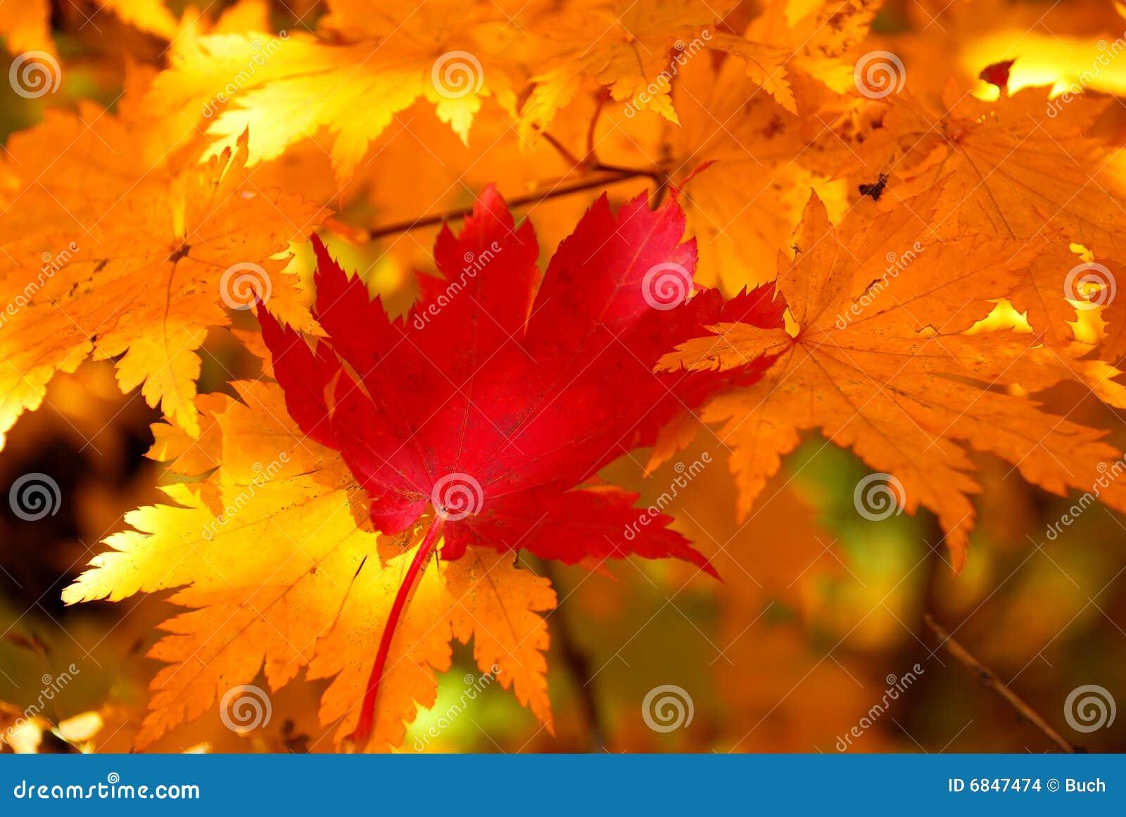 叶子留给槭树红色黄色