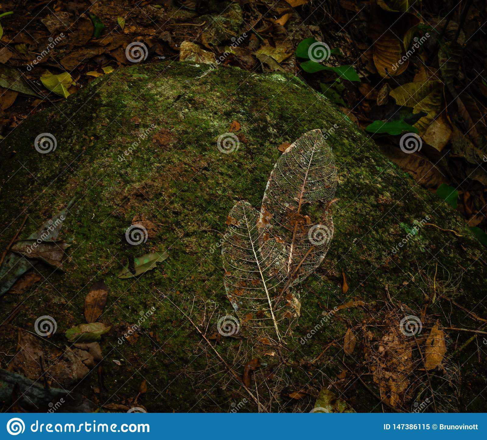 叶子的骨骼在石头的