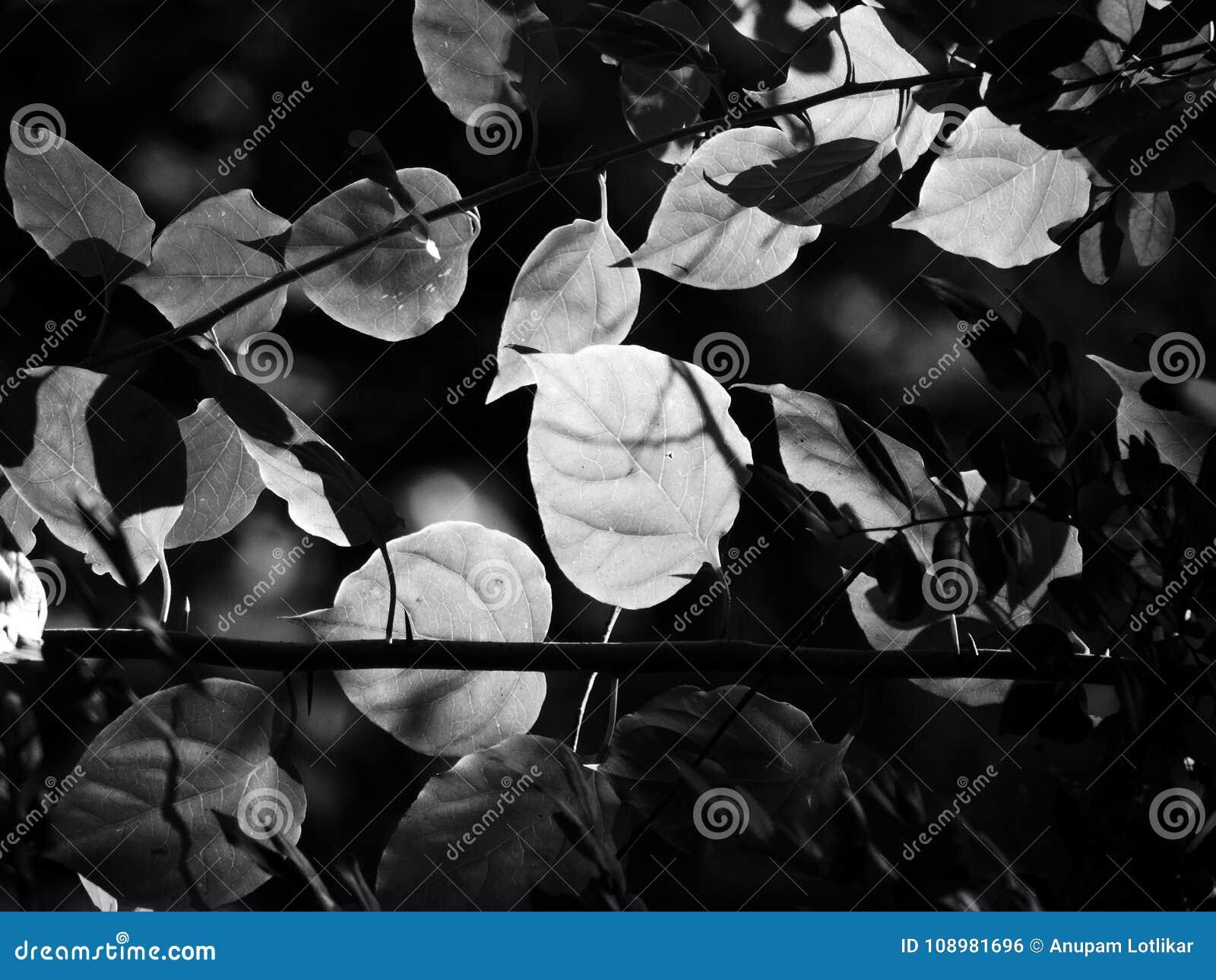叶子的黑白图象在有穿过它的起斑纹的下午阳光的一个密集的森林里
