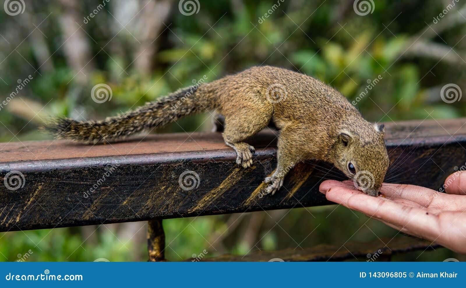 吃从人的手的灰鼠食物