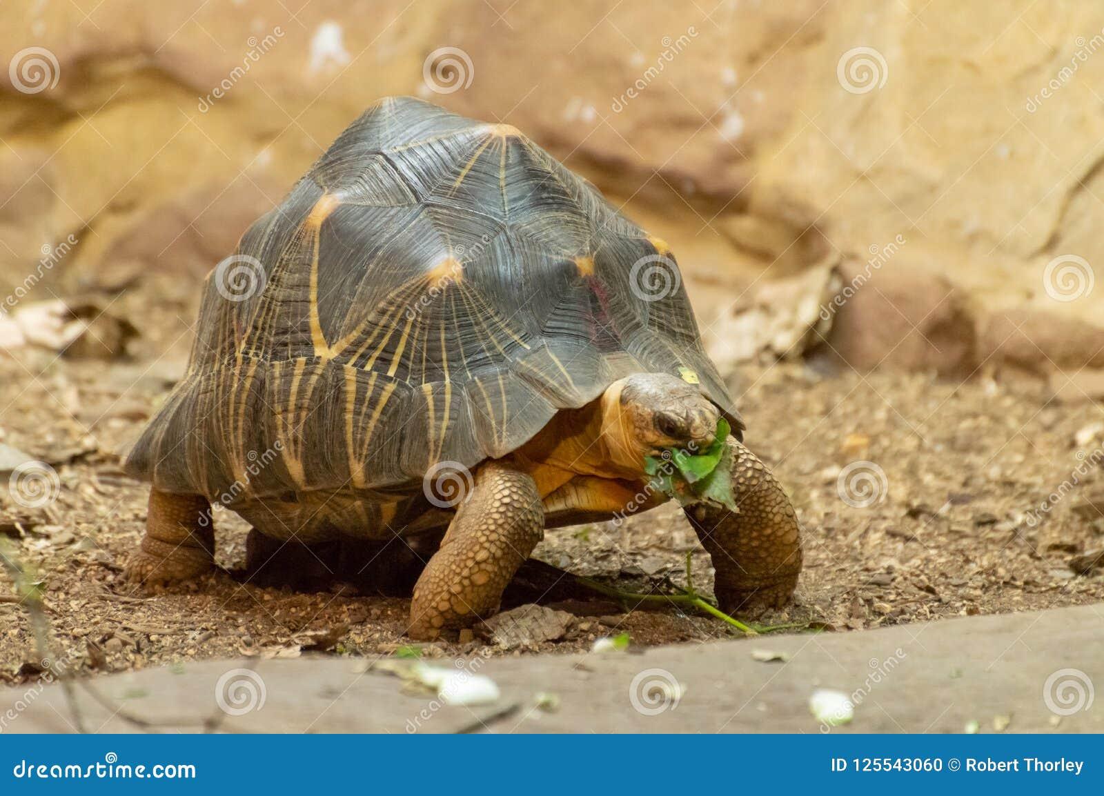 吃叶子的一只被隔绝的放热的草龟