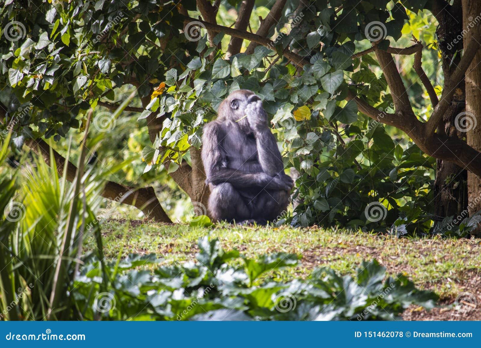 吃叶子的幼小大猩猩