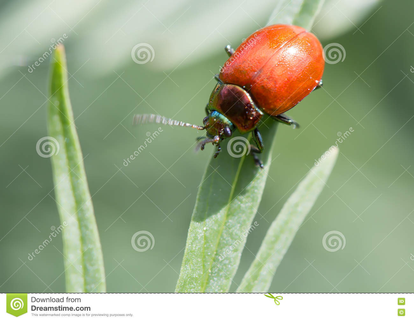 吃叶子的红色甲虫