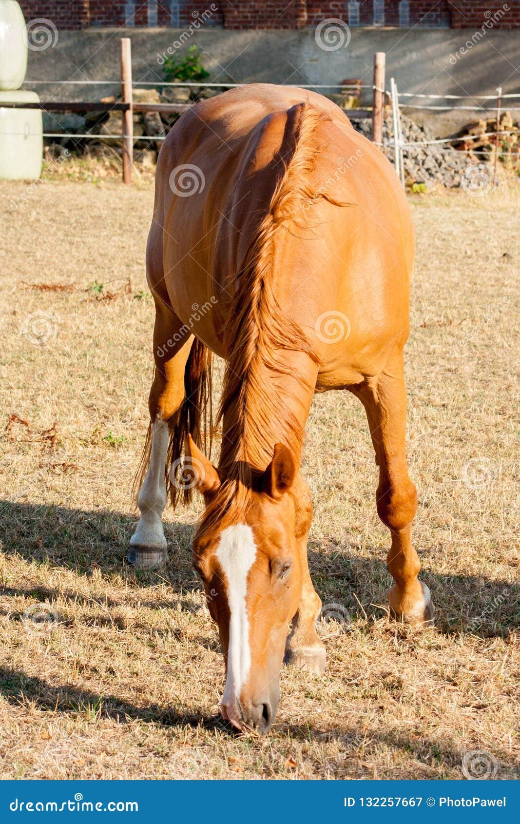 吃在农场的浅褐色的马干草