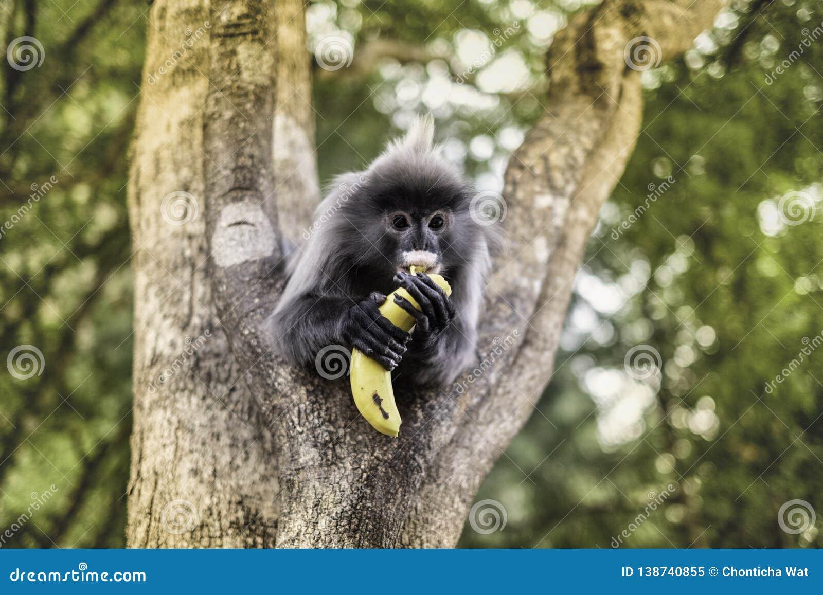 吃在树的也Colobinae灰色叶猴果子长尾的猴子