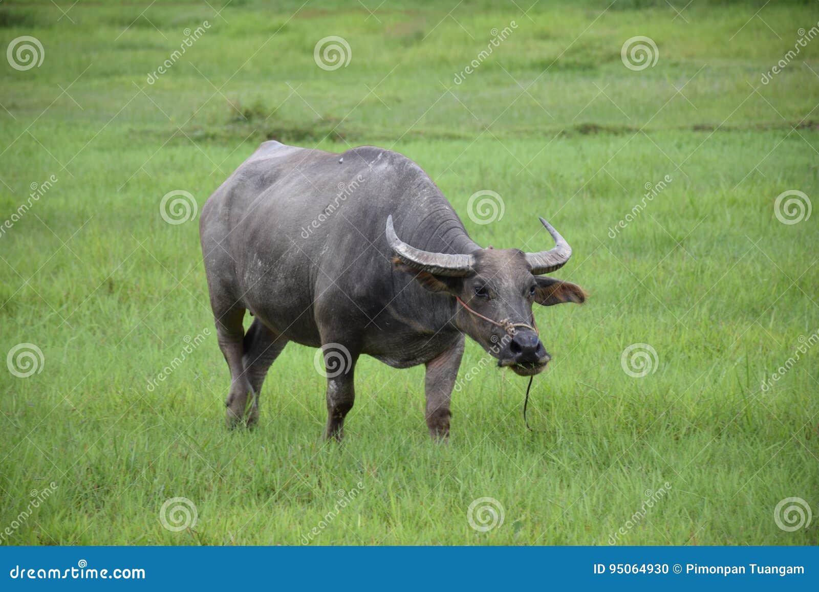 吃在草地的泰国水牛