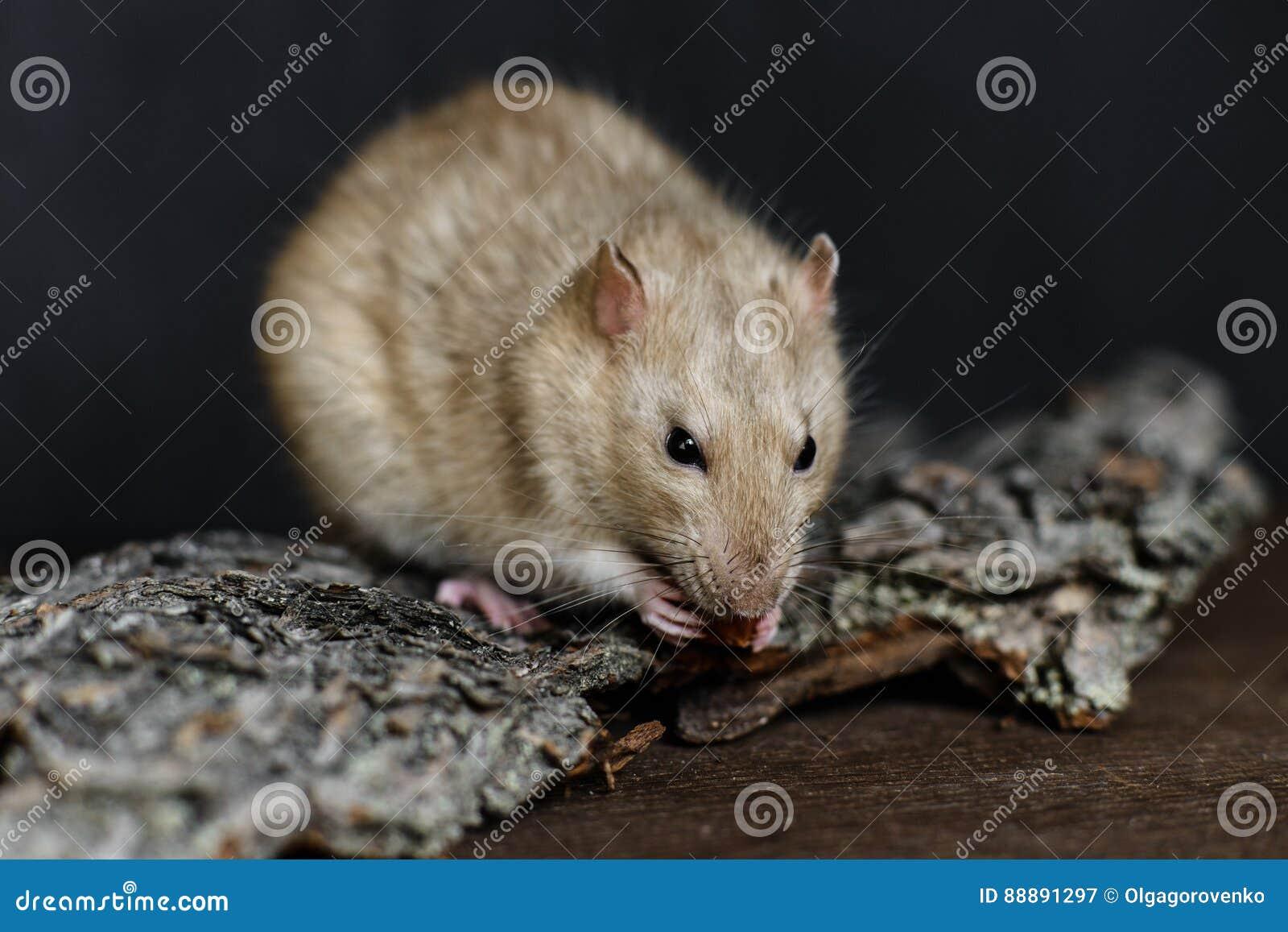 吃在黑暗的背景的灰色花梢鼠坚果