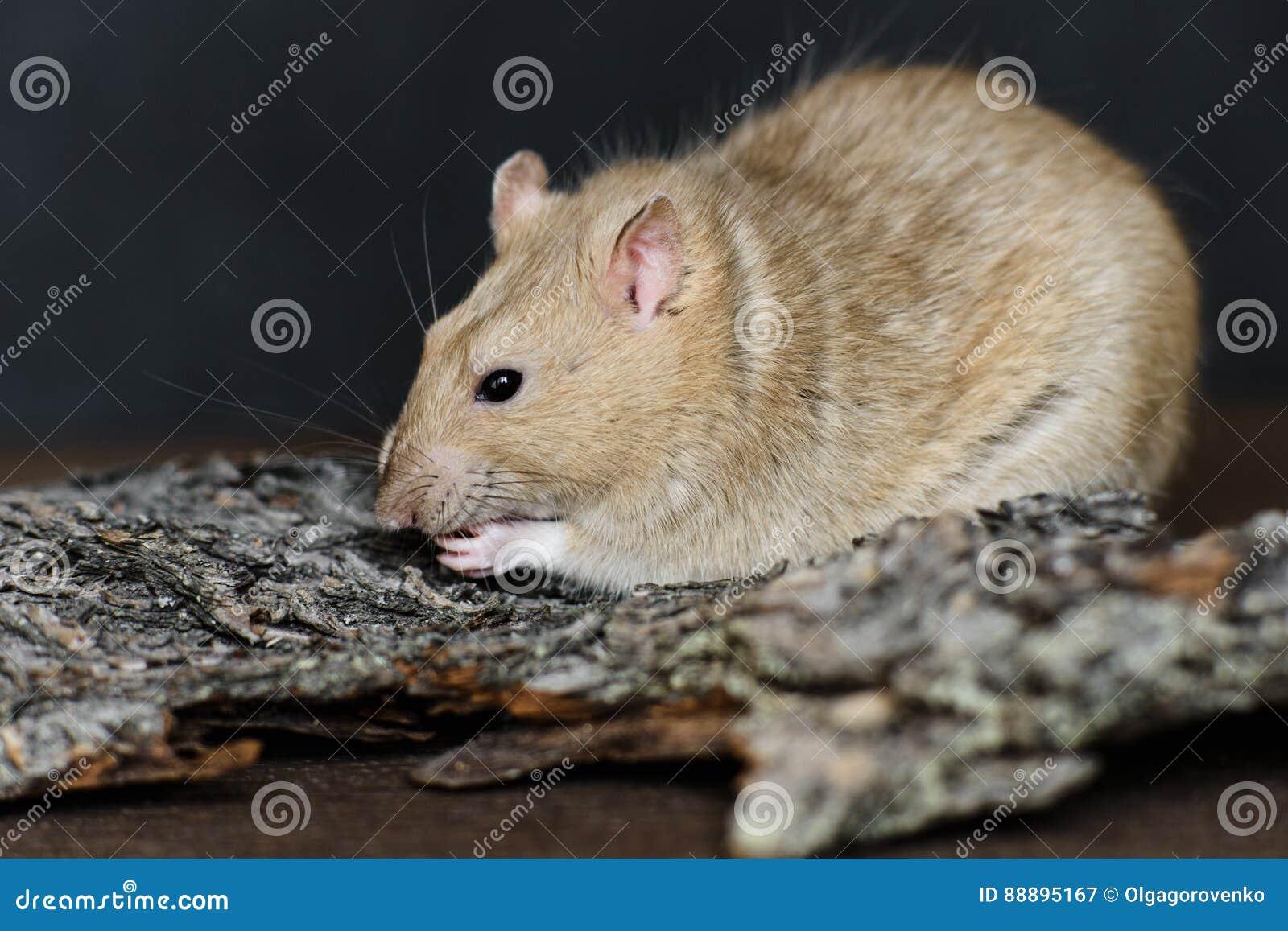 吃在黑暗的背景的灰色花梢鼠种子