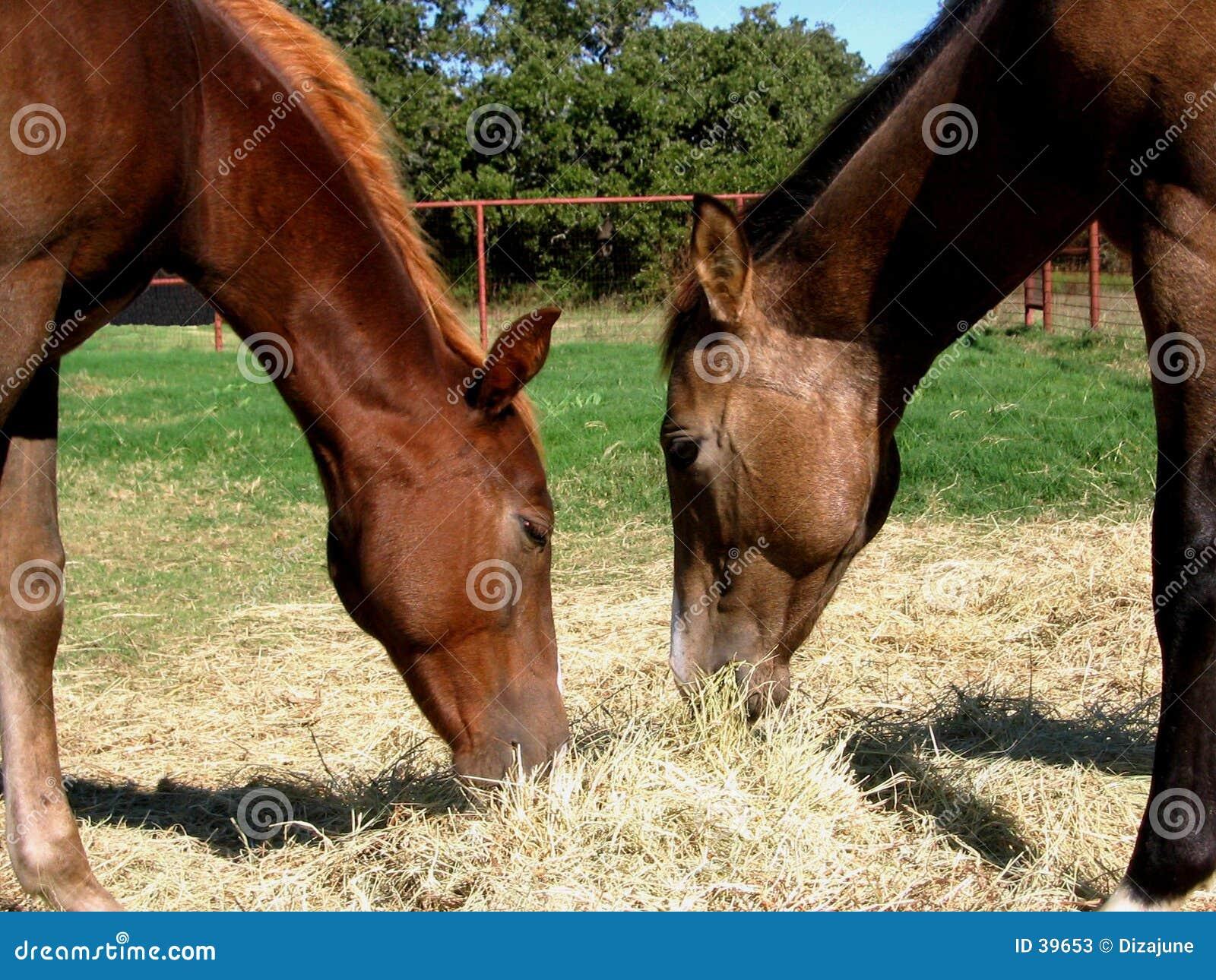 吃干草二的马驹