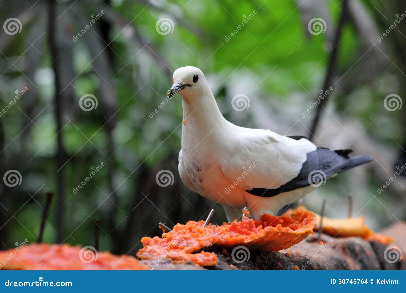 吃番木瓜的鸟/蝴蝶鸽子是怎么演变的图片