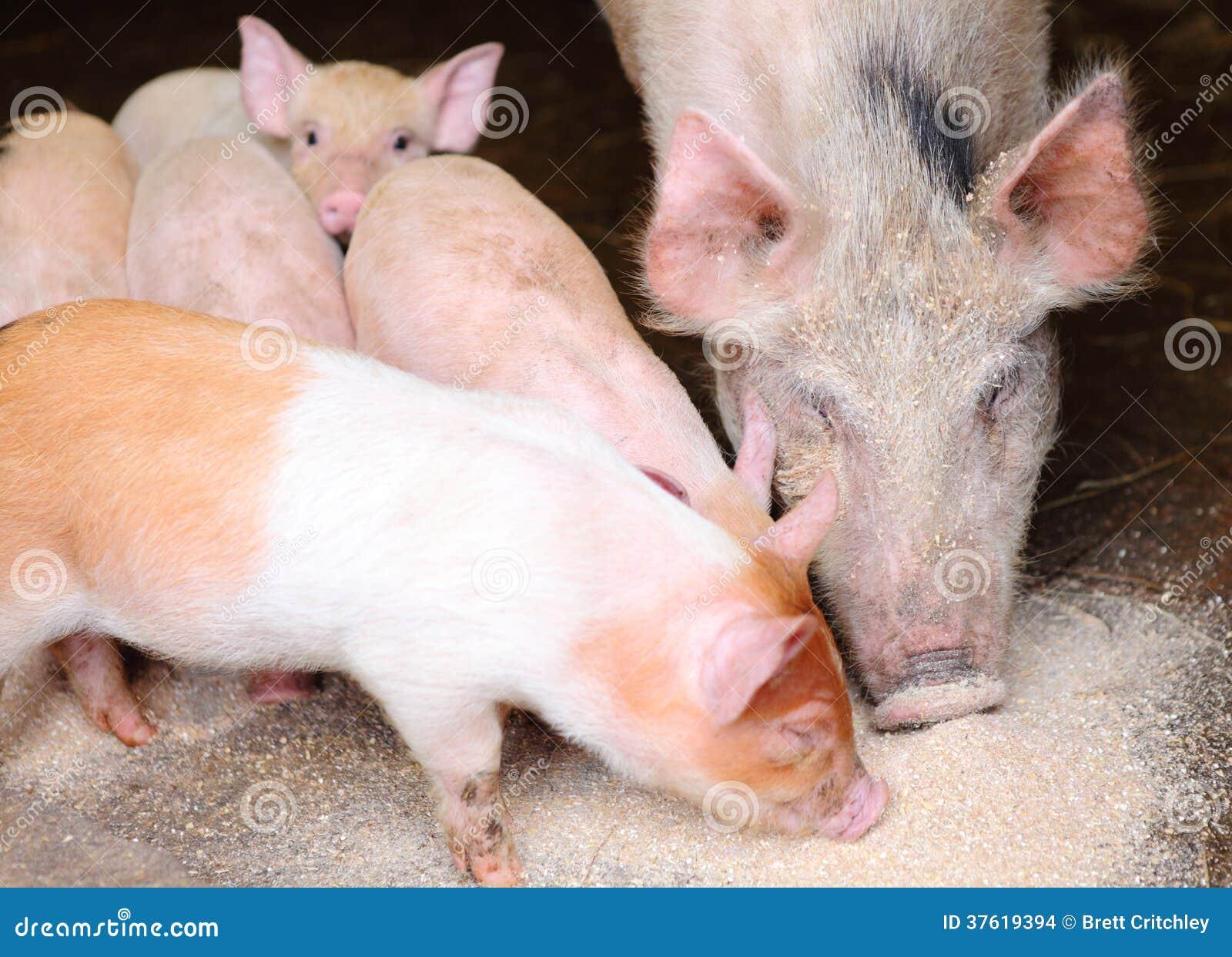 吃痛饮的猪和小猪