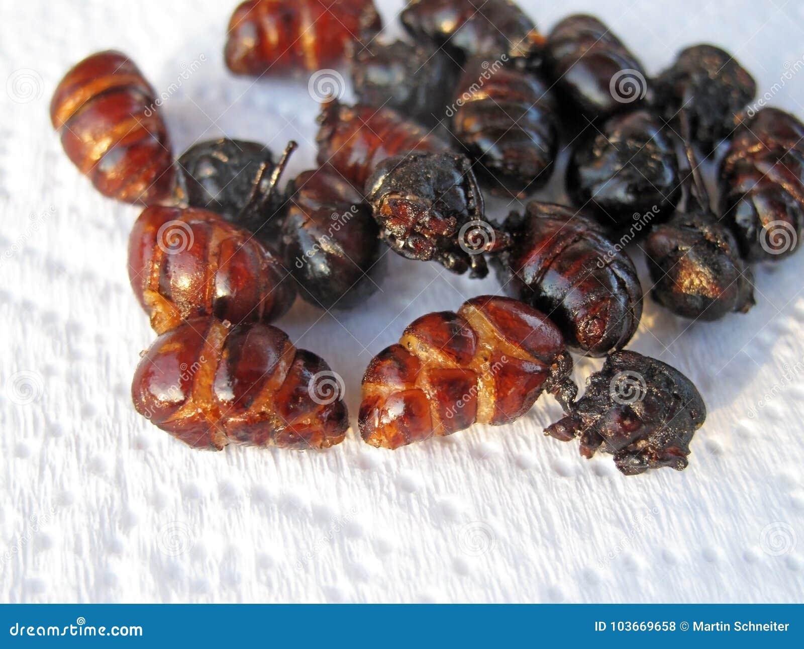 吃的油煎的蚂蚁作为一个特别纤巧在Barichara,哥伦比亚,南美