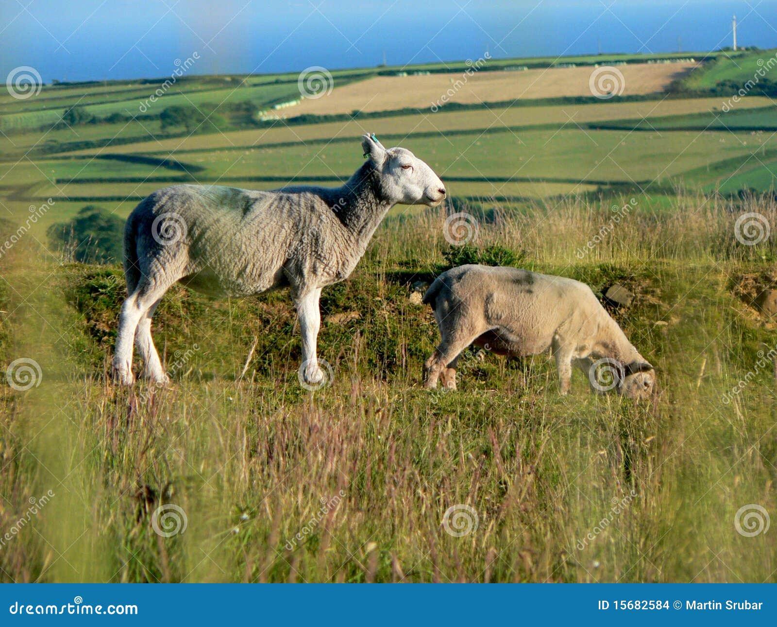 吃草半岛绵羊威尔士的gower