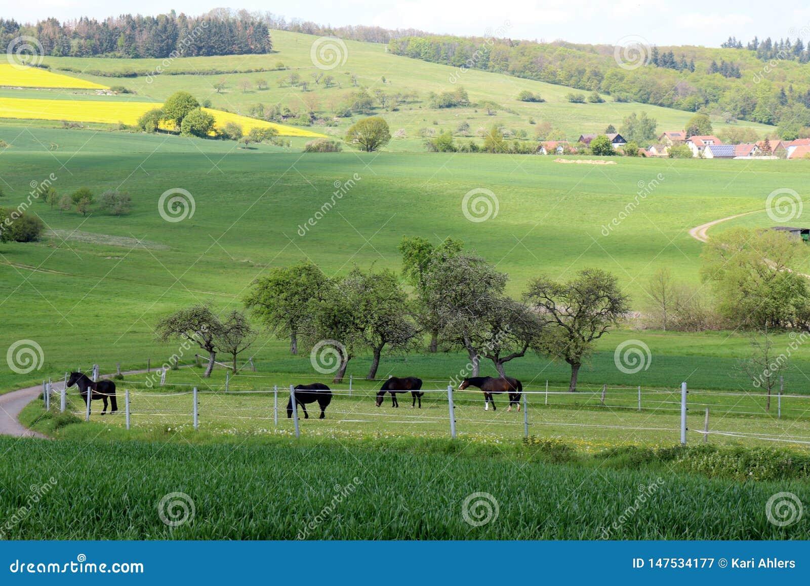 吃草在一个牧场地的马在德国