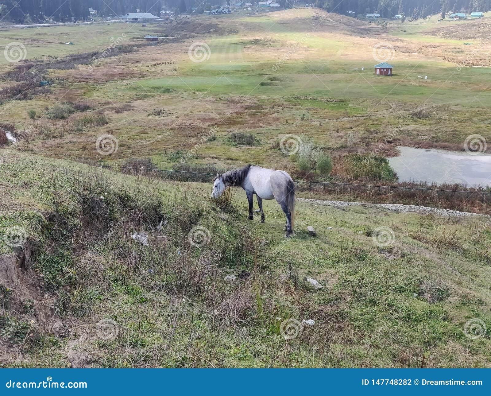 吃草在小山的马在克什米尔