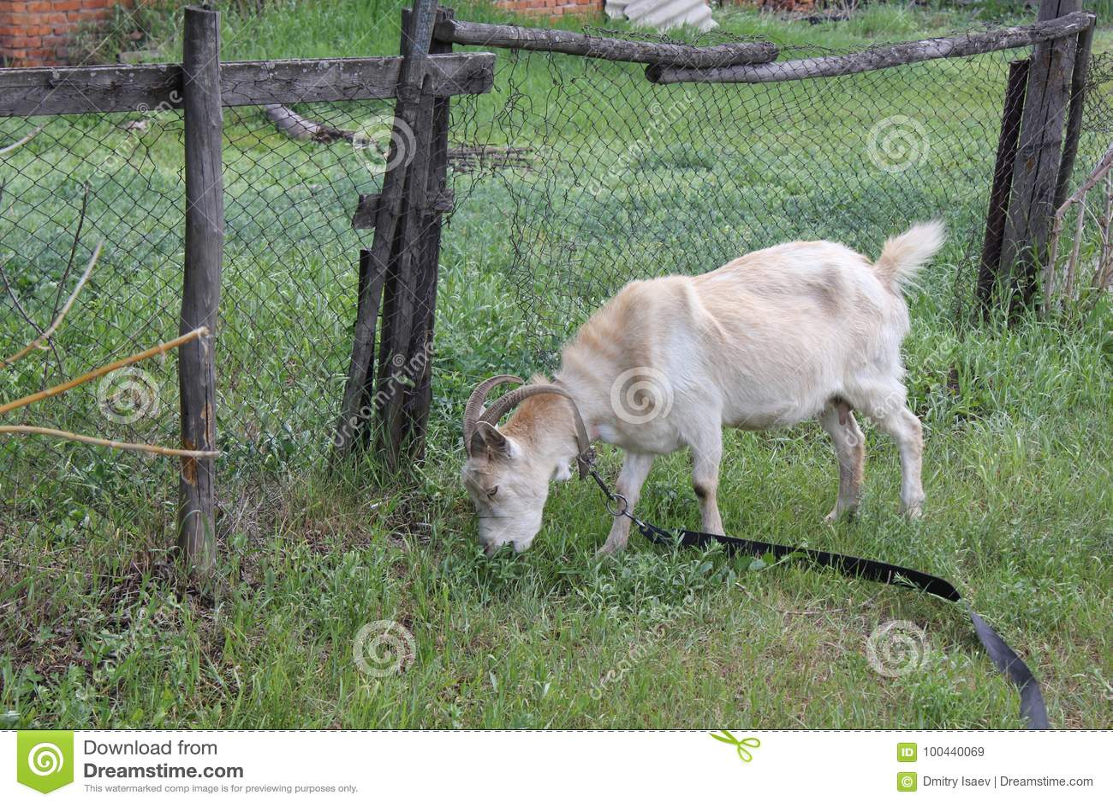 吃草在村庄30726的被束缚的山羊