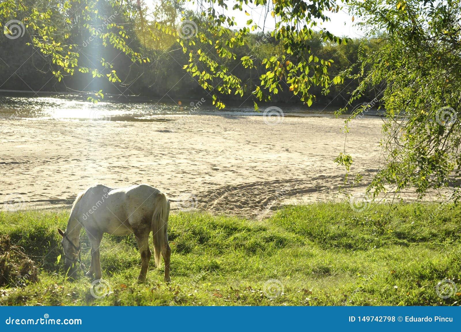 吃草在河附近的马
