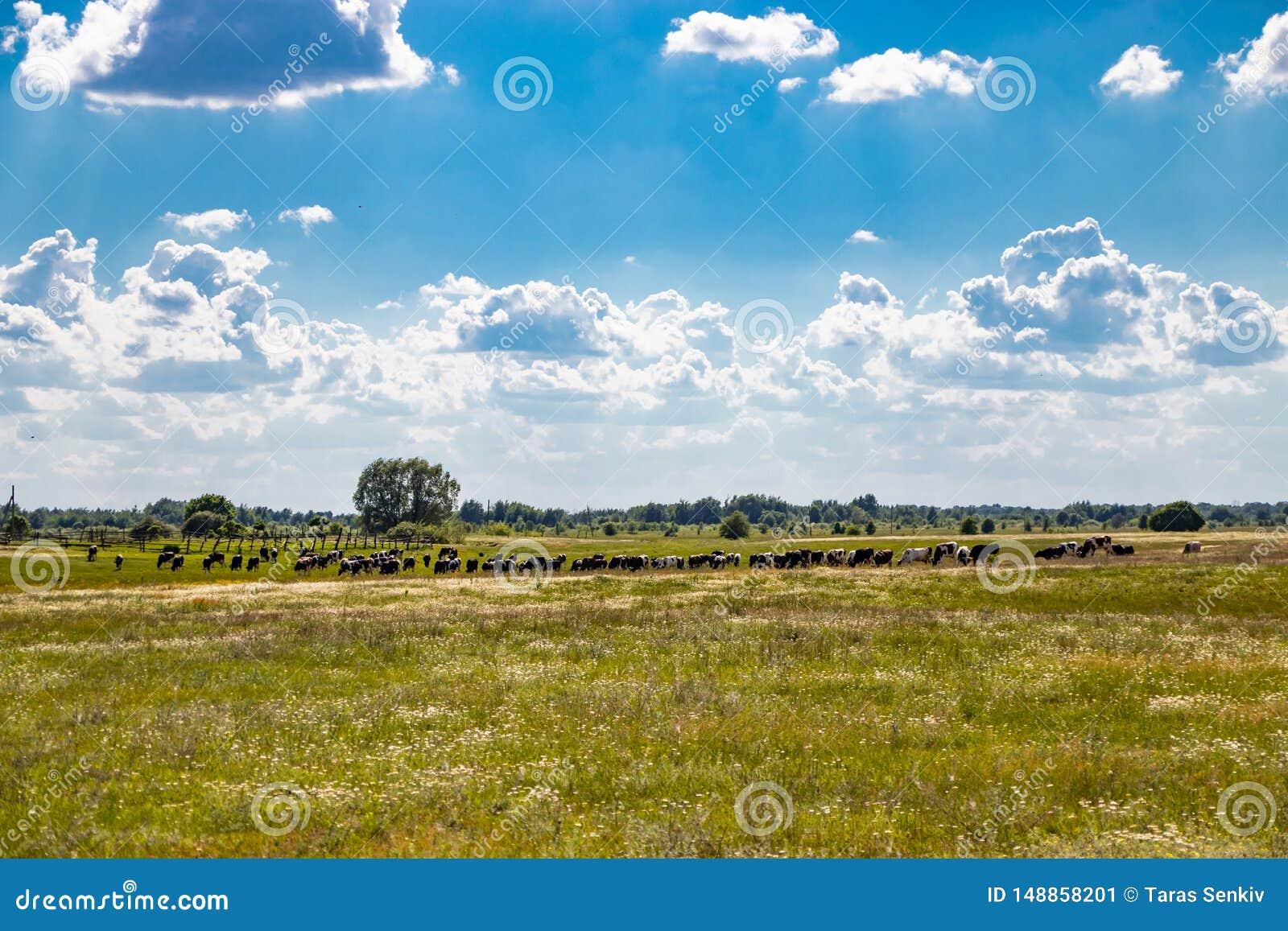 吃草在草甸的母牛牧群