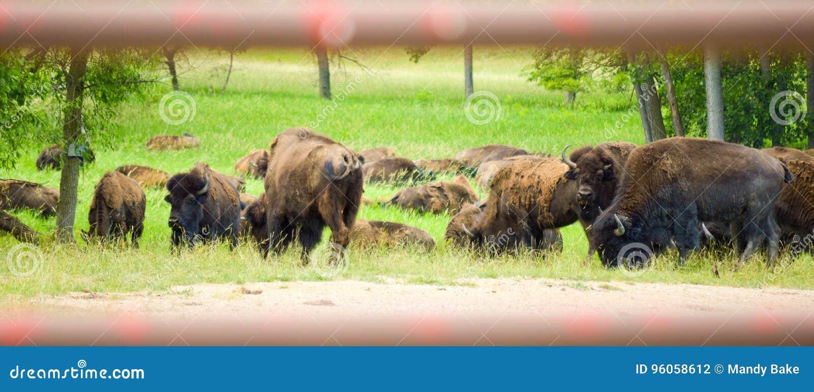吃草在领域的狂放的北美野牛牧群