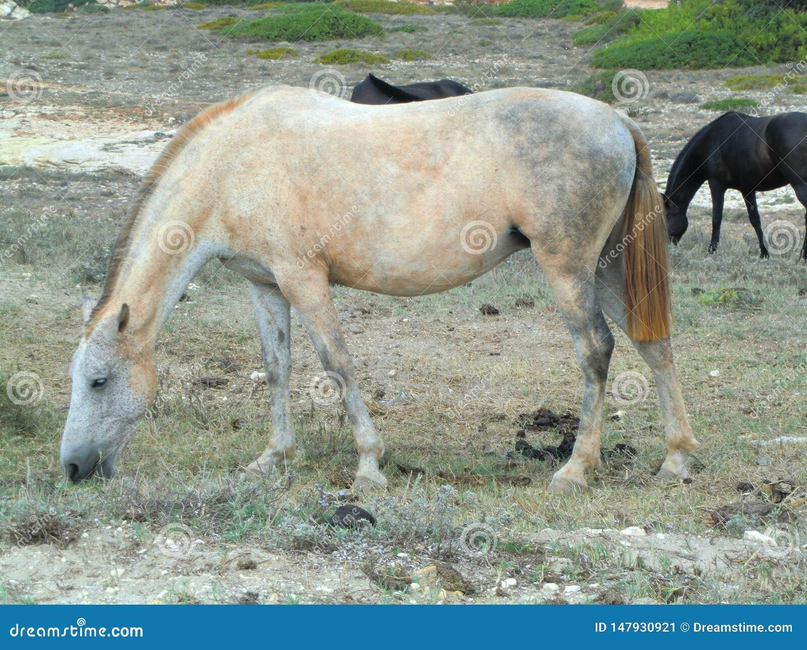 吃草干草的呈杂色的白马