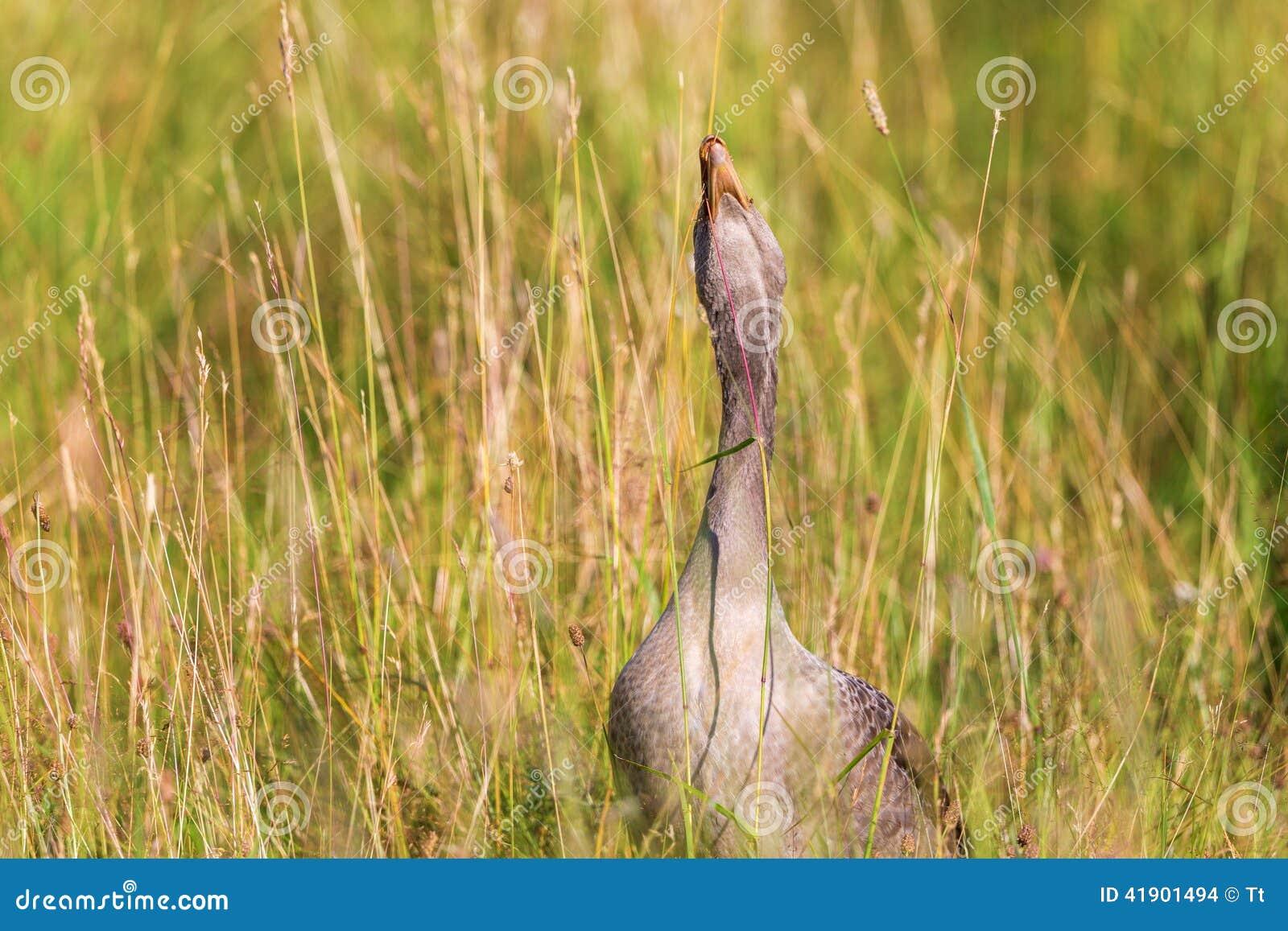 吃草的灰雁