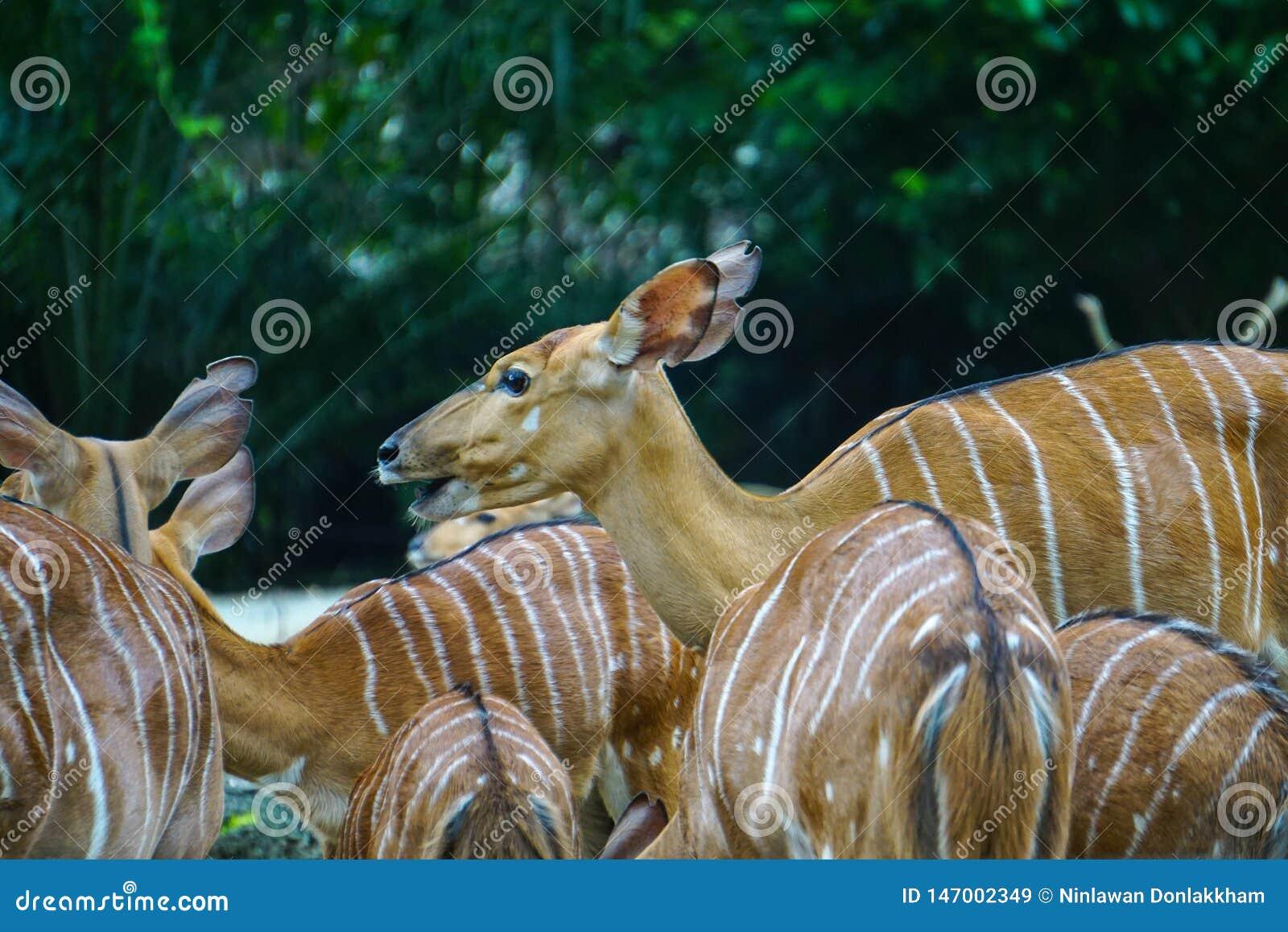 吃草的黄色鹿在动物园里