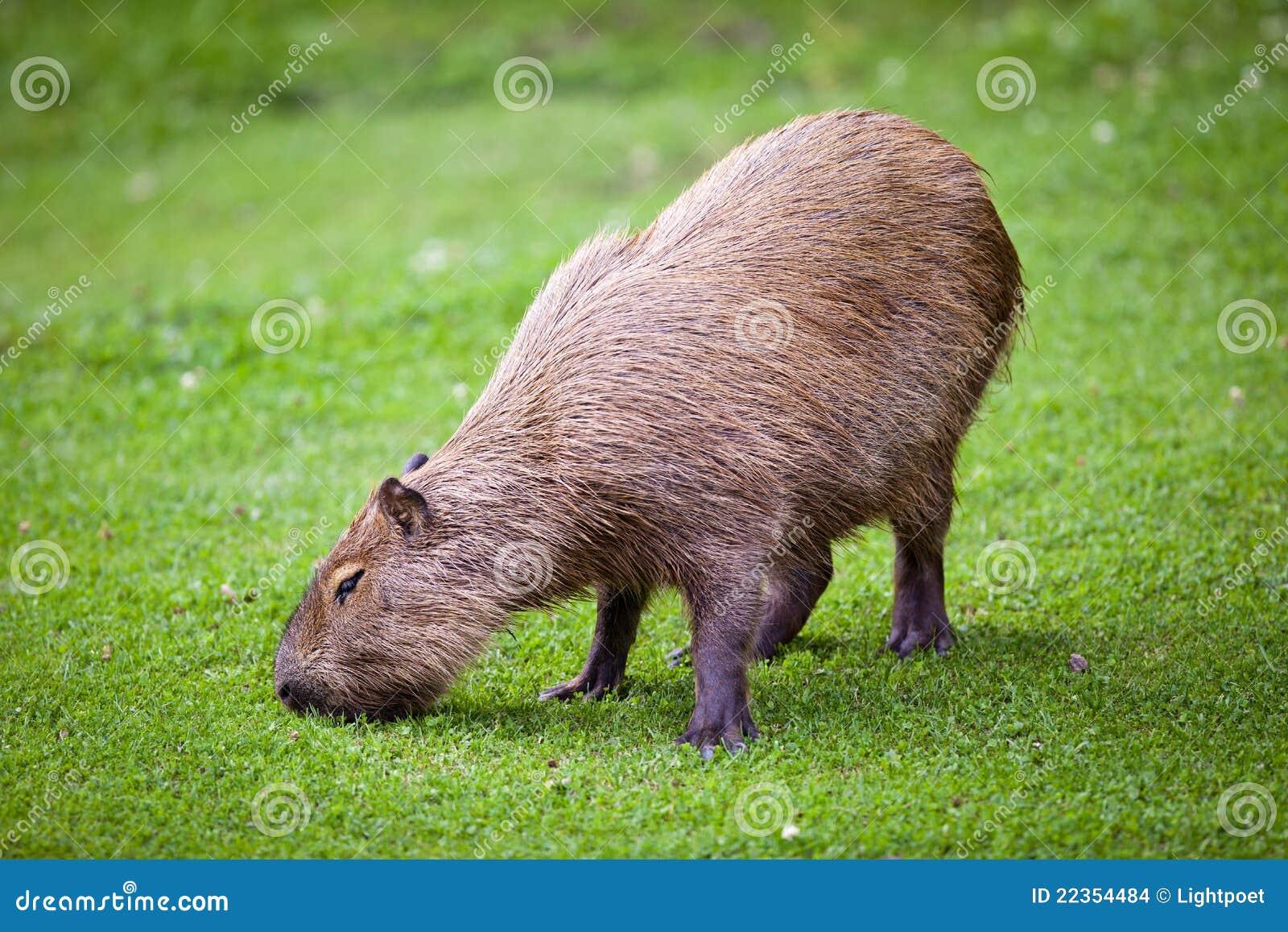 吃草绿色的水豚草