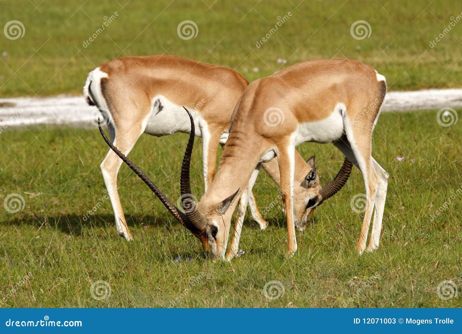 吃草肯尼亚男s的瞪羚授予
