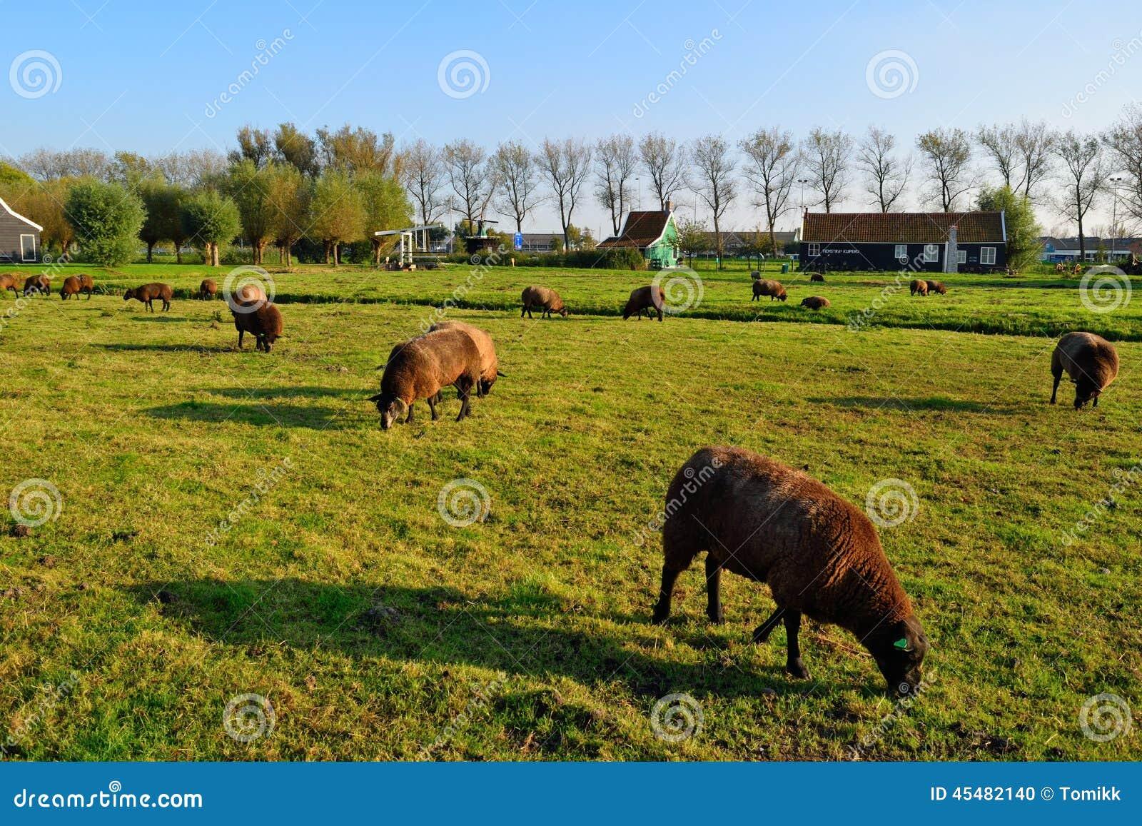 吃草绿草有天空背景的荷兰绵羊