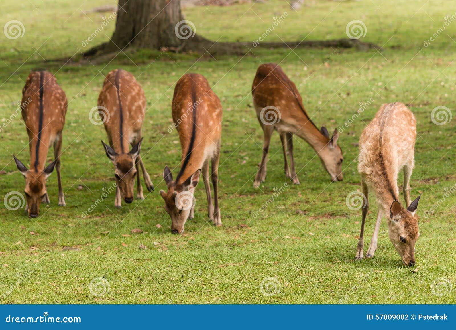 吃草sika鹿hinds
