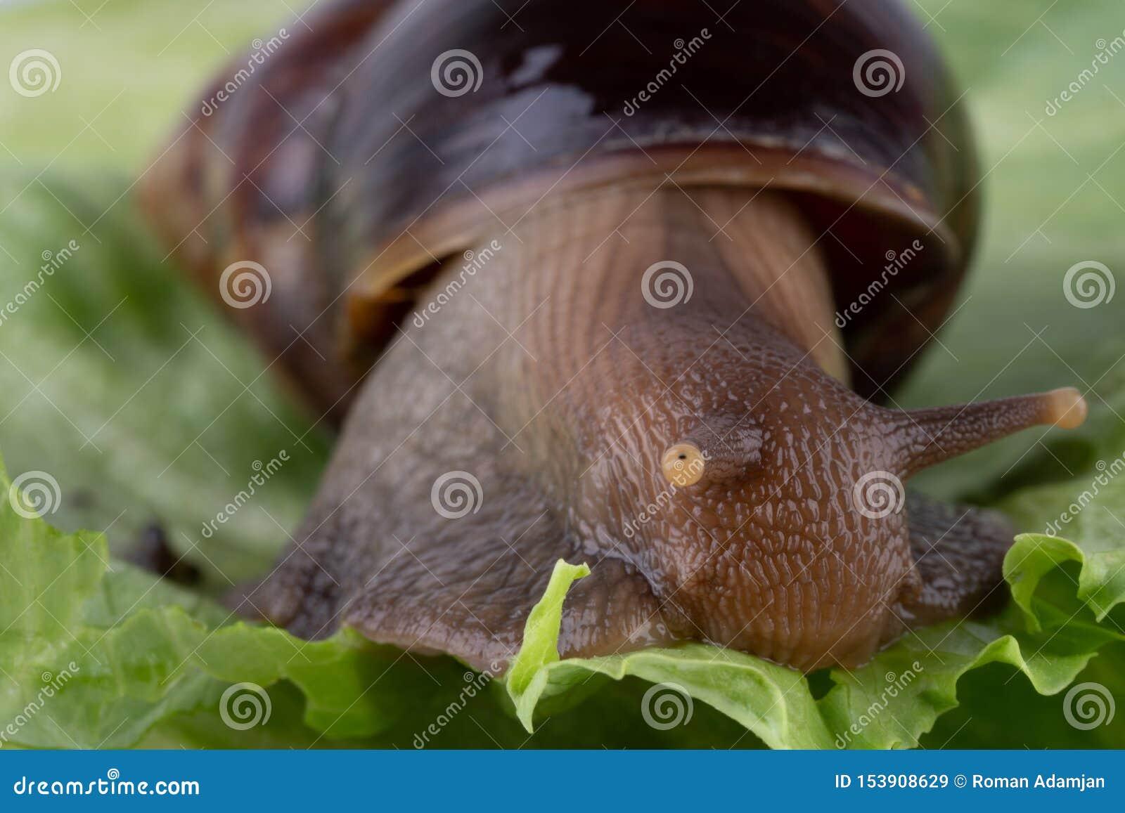 吃蔬菜沙拉的巨型非洲蜗牛Achatina骨顶属,宏观