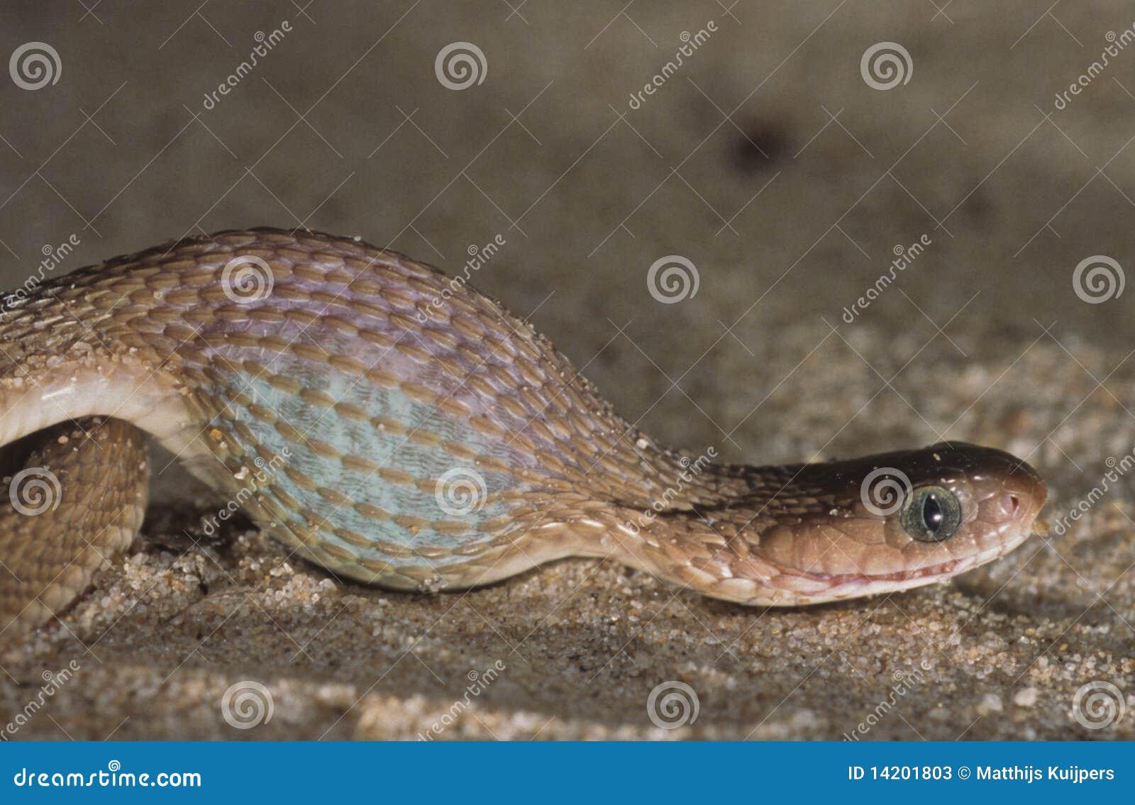吃蛋蛇吞下