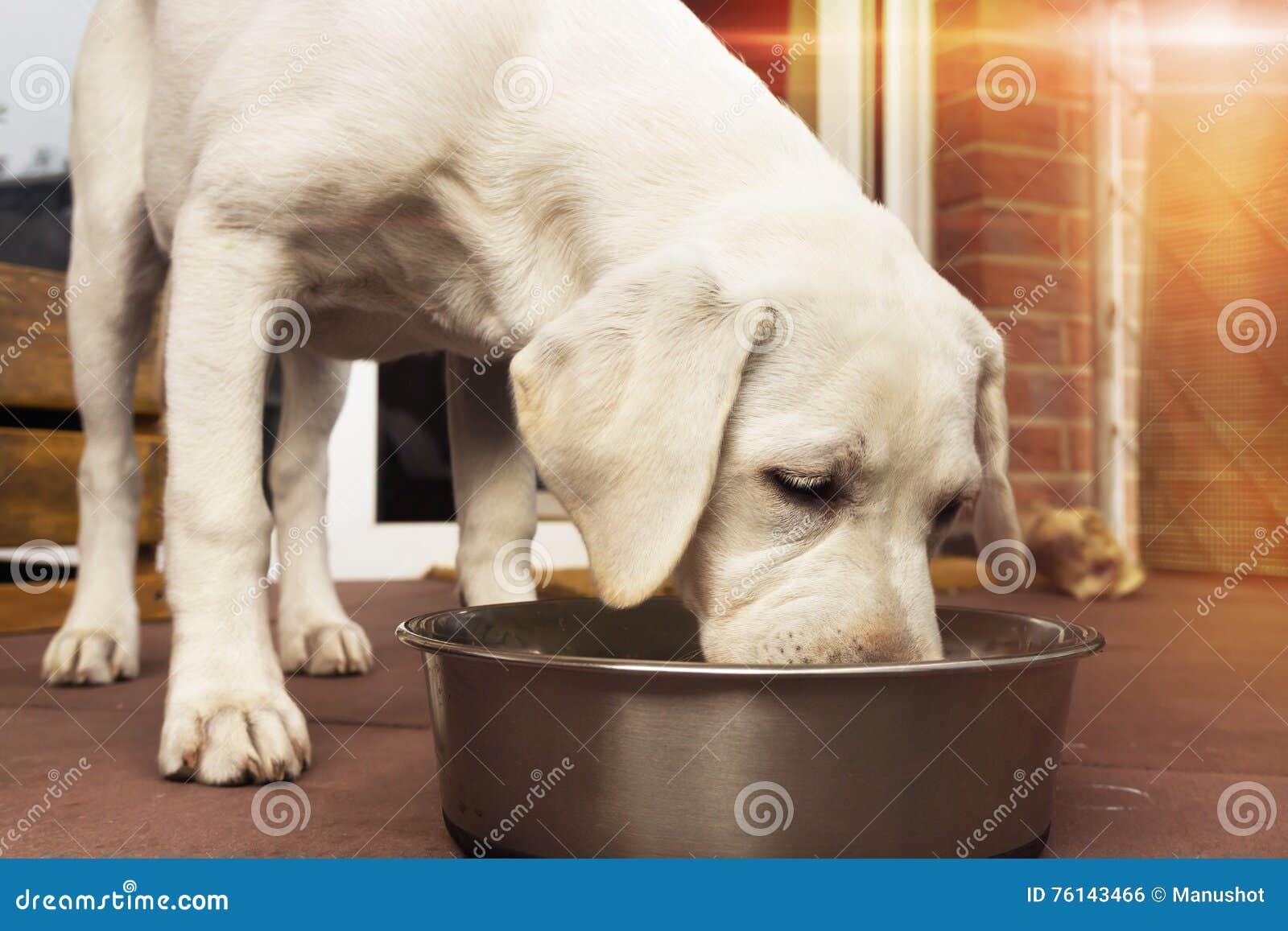 吃barf肉的一只幼小拉布拉多狗小狗在他的碗外面