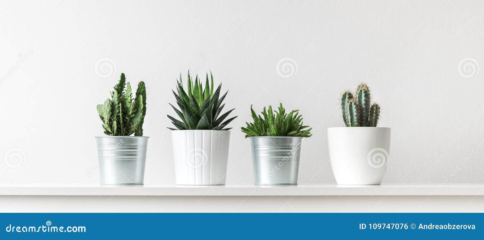 各种各样的仙人掌和多汁植物的汇集用不同的罐 白色架子的盆的仙人掌房子植物