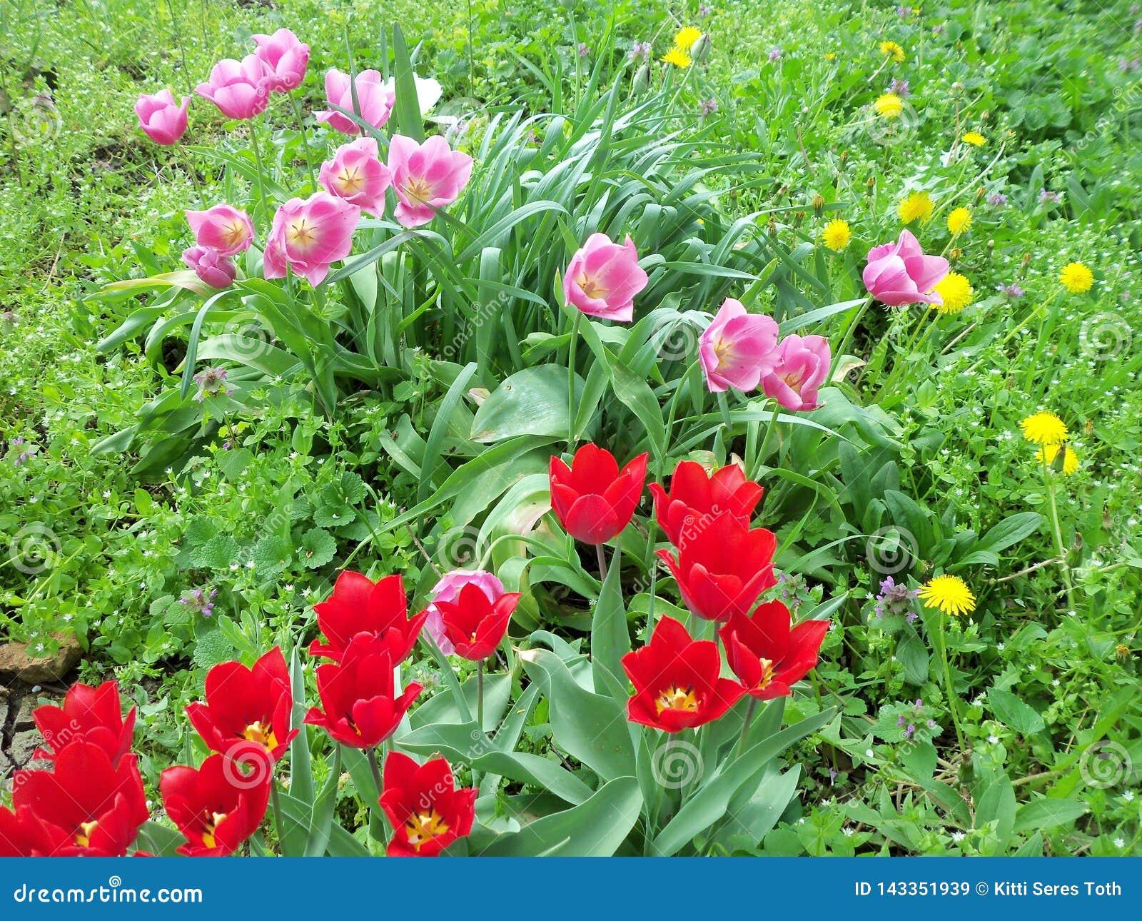 各种各样的郁金香和野花