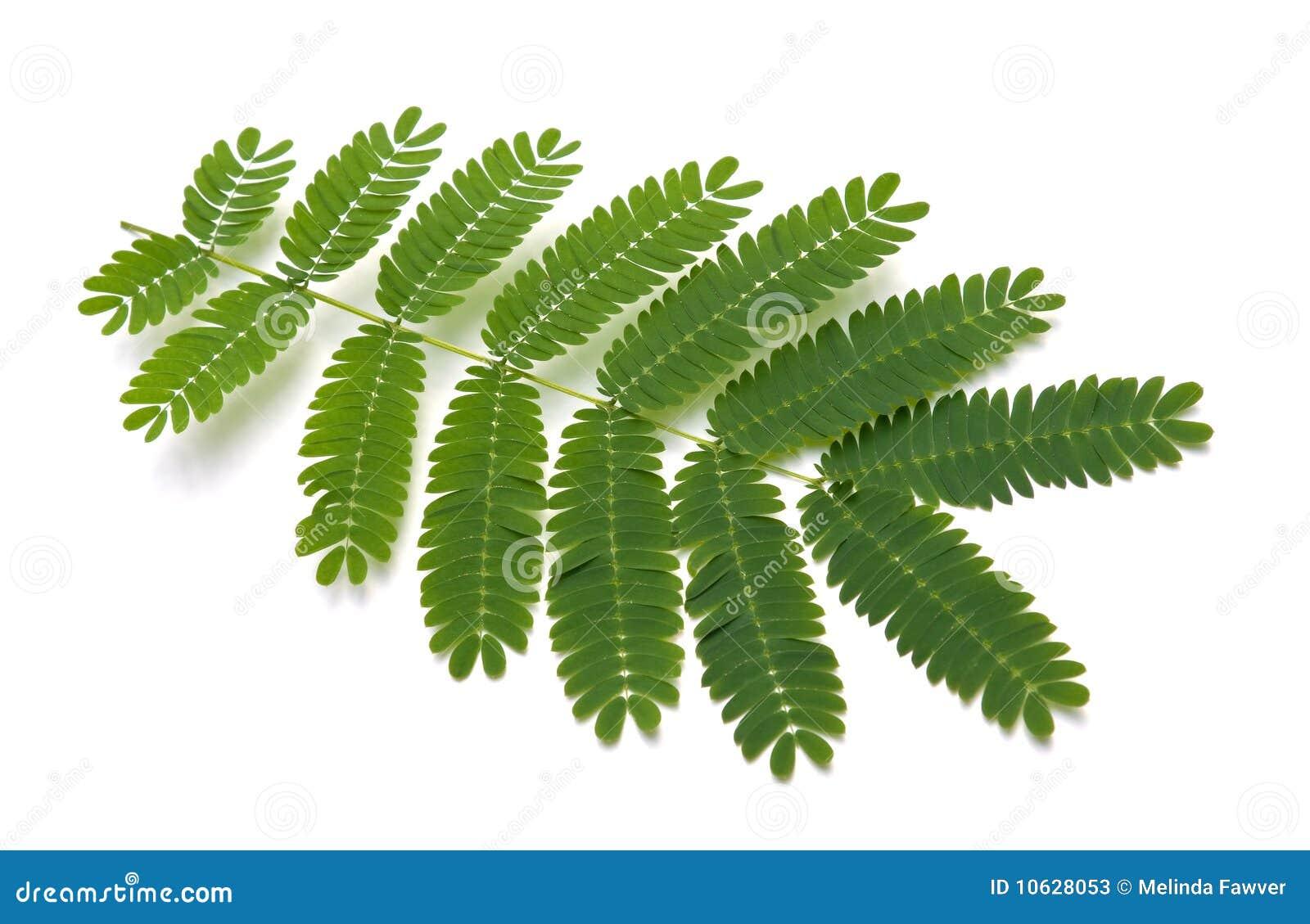 durazz)亦称含羞草或柔滑的金合欢的叶子.图片