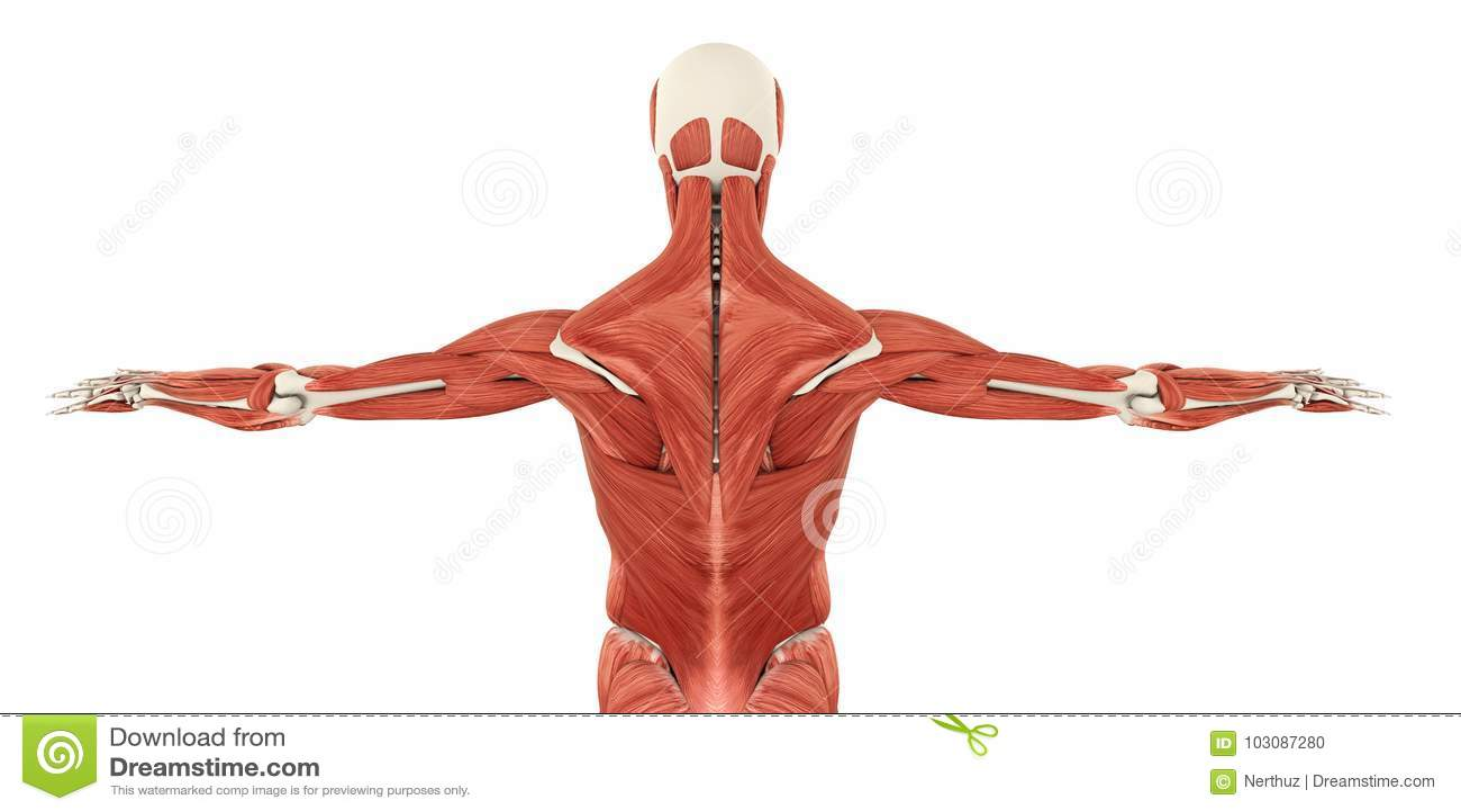 后面解剖学的肌肉