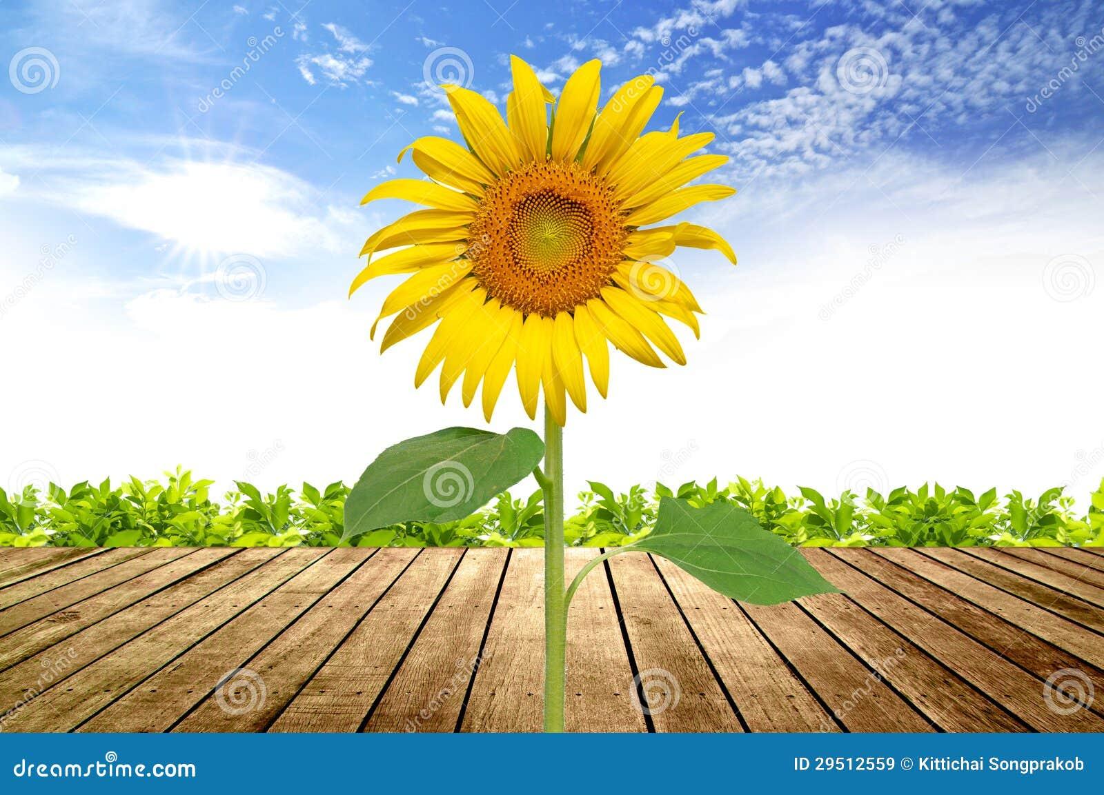 向日葵開花圖片