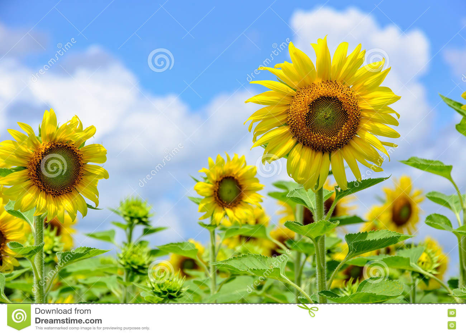向日葵或向日葵在天空背景