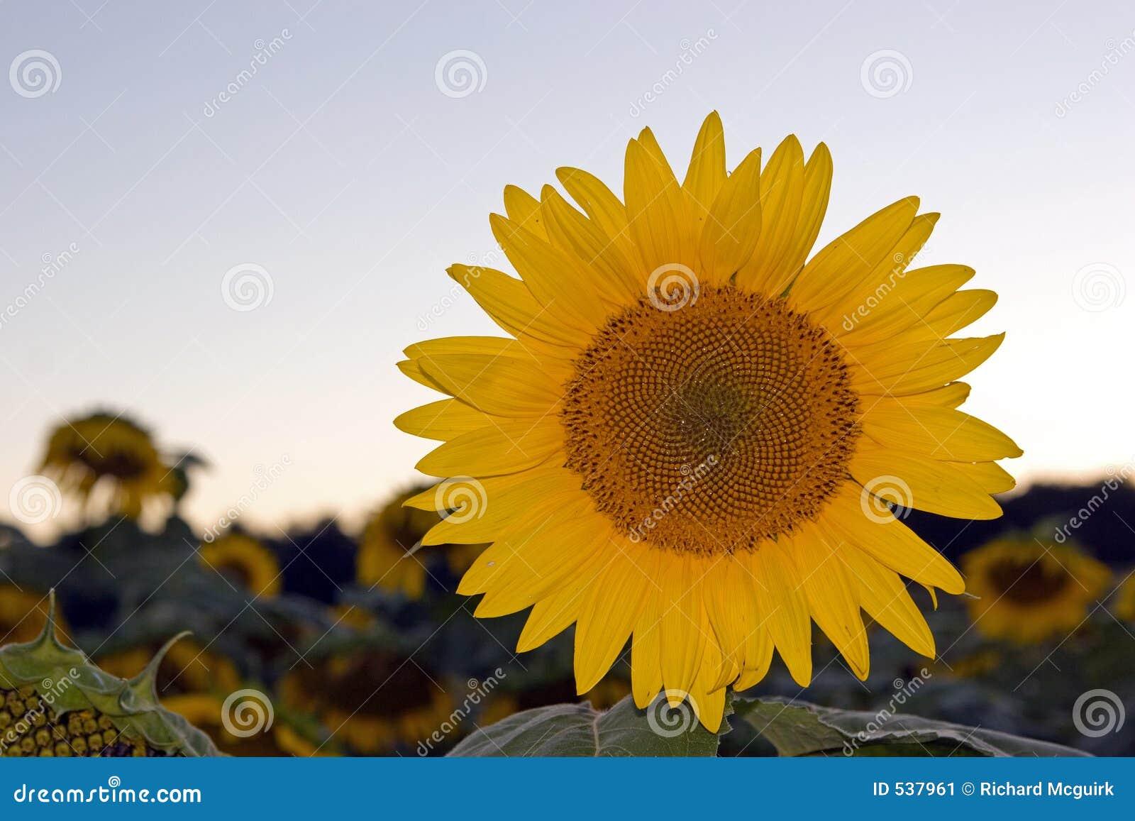 Download 向日葵日落 库存图片. 图片 包括有 增长, 耕种, 蓝色, 自然, 日落, 玻色子, 阳光, 自治权, 庭院 - 537961