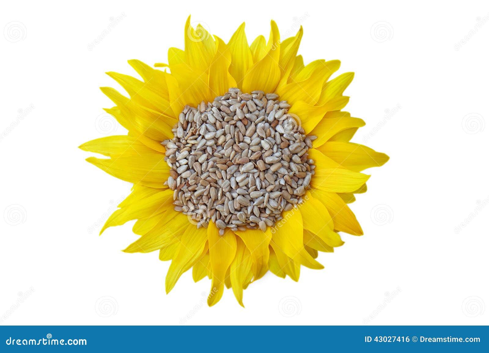向日葵种子_在瓣的被剥皮的向日葵种子在白色背景.