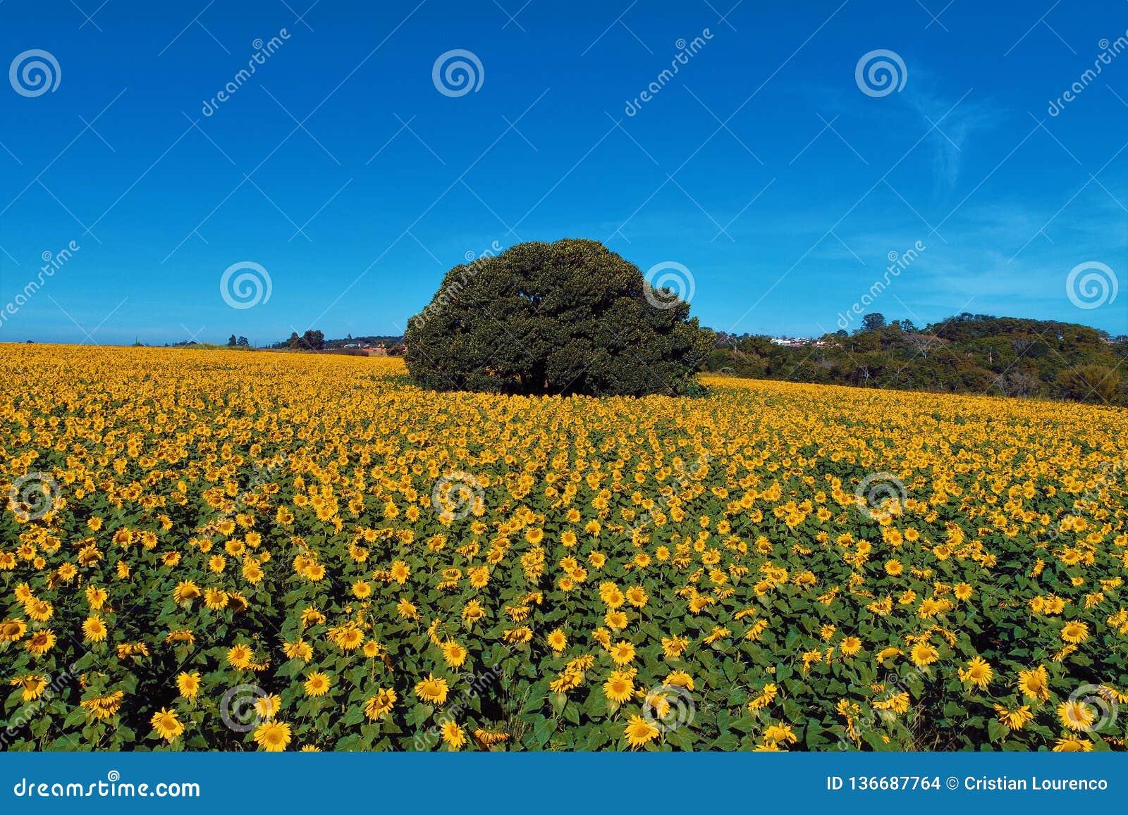 向日葵:鸟瞰图种植在巴西 美好的横向