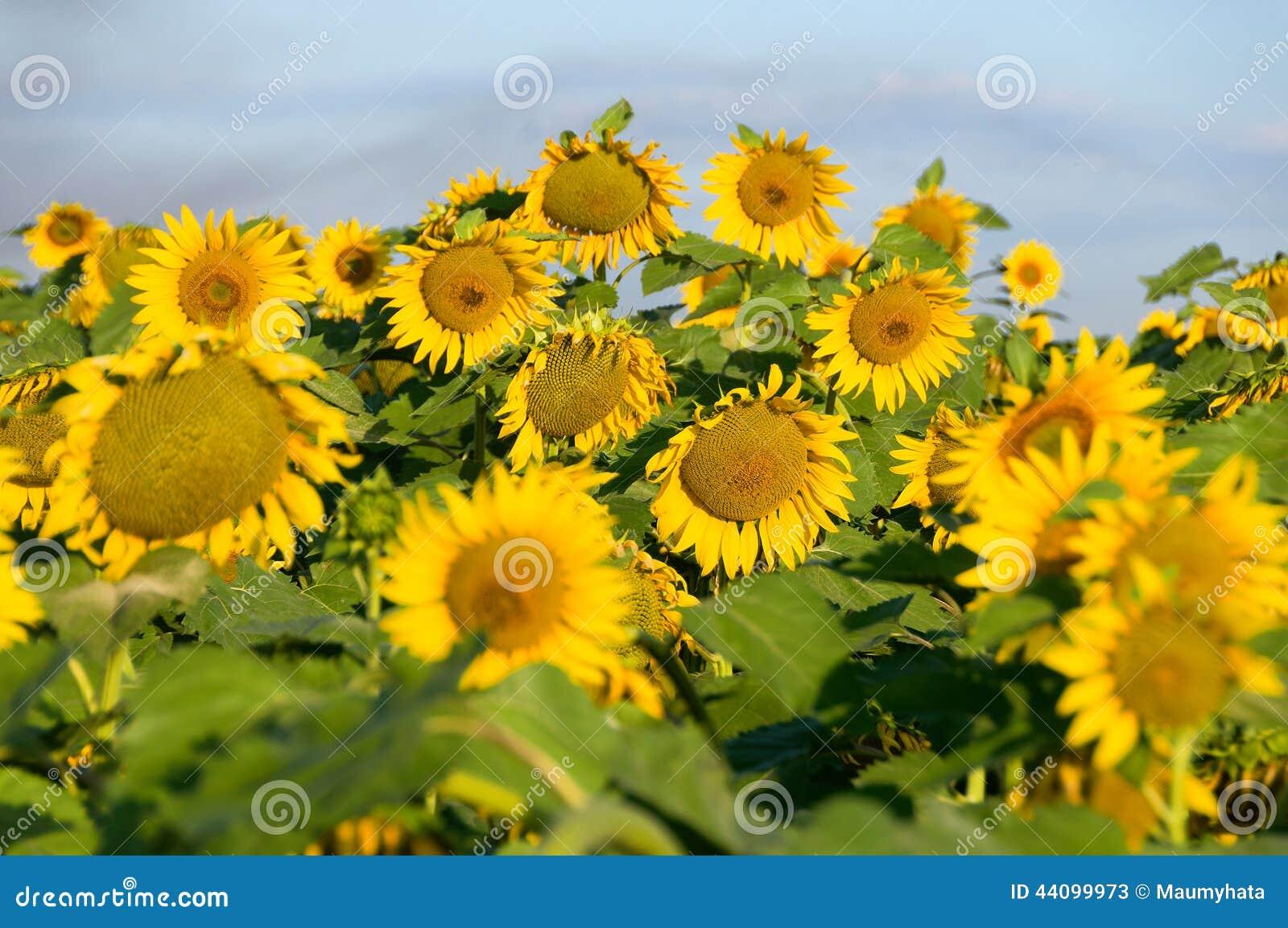 早晨太阳水平的开花的向日葵制约 问题.