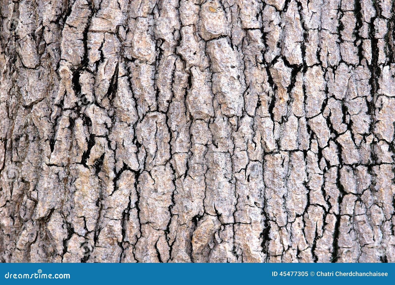 吠声老白杨树纹理结构树