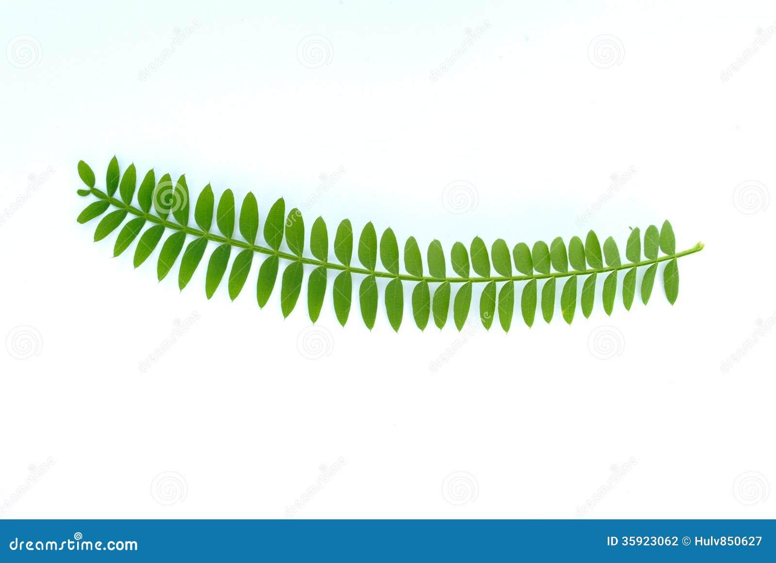 从含羞草(金合欢)树的叶子.图片